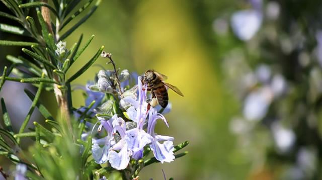 Las flores del romero…