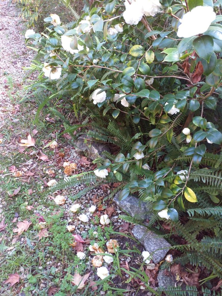 Cuarentena y flores: dos con camelias