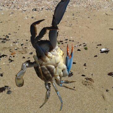Cangrejo azul (arte poética)
